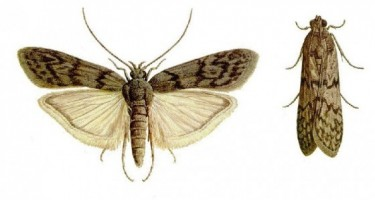 flour_moth_ephestia_kuehniella-e1410291172484