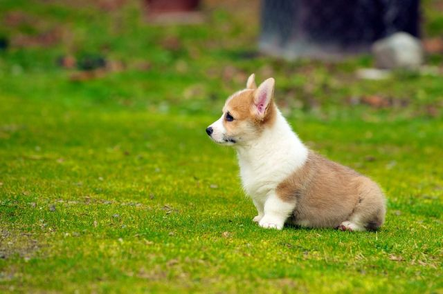 15.-Corgi-Puppies