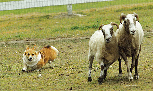 corgi-cute-herd