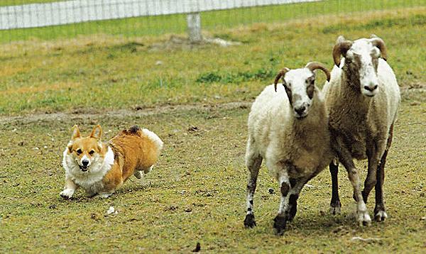 corgi-cute-herd